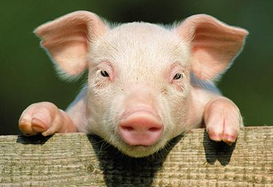 PigCam-sm